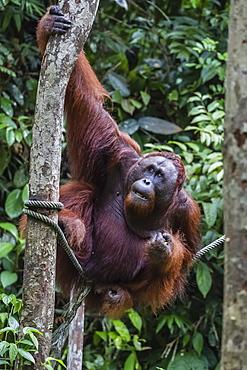 Young male Bornean orangutan (Pongo pygmaeus), Semenggoh Rehabilitation Center, Sarawak, Borneo, Malaysia, Southeast Asia, Asia