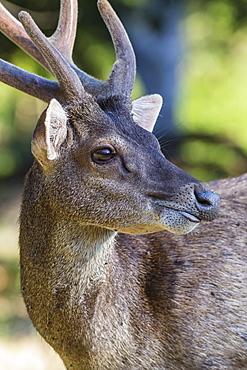 Adult buck Timor rusa deer (Cervus timorensis) in velvet on Rinca Island, Indonesia, Southeast Asia, Asia