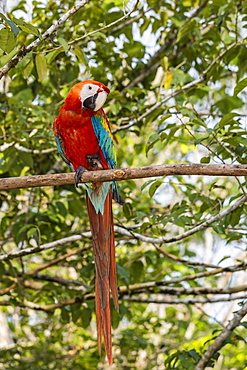 Adult scarlet macaw (Ara macao), Amazon National Park, Loreto, Peru, South America