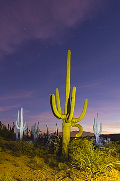 Giant saguaro cactus (Carnegiea gigantea) at night in the Sweetwater Preserve, Tucson, Arizona, United States of America, North America