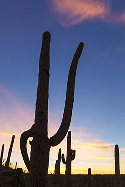 Giant saguaro cactus (Carnegiea gigantea), at dawn in the Sweetwater Preserve, Tucson, Arizona, United States of America, North America
