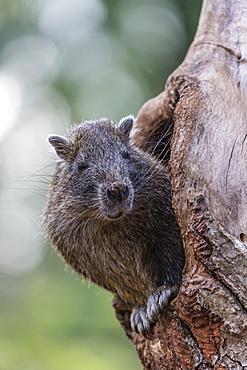 Captive Desmarest's hutia (Capromys pilorides) (Cuban hutia), a species of rodent endemic to Cuba, West Indies, Central America