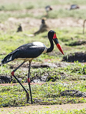 An adult saddle-billed stork (Ephippiorhynchus senegalensis), South Luangwa National Park, Zambia, Africa