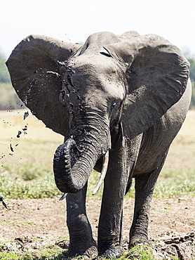 An African bush elephant (Loxodonta africana) at a watering hole in South Luangwa National Park, Zambia, Africa