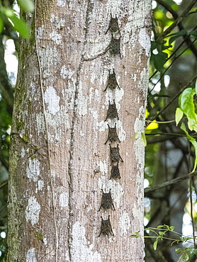 Adult proboscis bats (Rhynchonycteris naso), resting during the day on the Yanayacu River, Loreto, Peru, South America