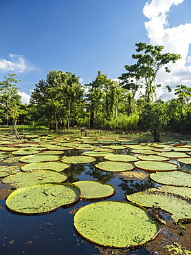 A large group of Victoria water lily (Victoria amazonica), on the Yarapa River, Nauta, Peru, South America