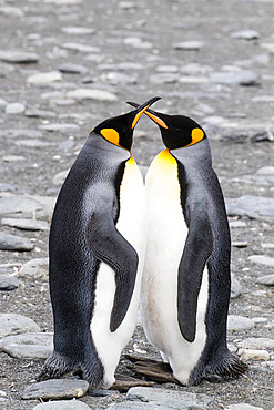 Adult king penguin pair (Aptenodytes patagonicus) at breeding colony at Gold Harbor, South Georgia Island, Polar Regions