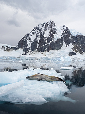 An adult male leopard seal (Hydrurga leptonyx), hauled out on ice in Girard Bay, Antarctica, Polar Regions