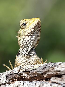 An adult Eastern garden lizard (Calotes versicolor versicolor), Wilpattu National Park, Sri Lanka, Asia