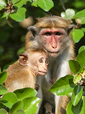 A mother and infant Toque macaque (Macaca sinica), Wilpattu National Park, Sri Lanka, Asia