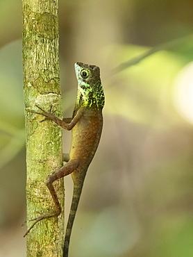 An adult male Sri Lankan kangaroo lizard (Otocryptis weigmani), in the Sinharaja Rainforest Reserve, Sri Lanka, Asia