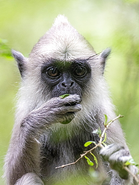 A tufted gray langur (Semnopithecus priam), in Polonnaruwa, UNESCO World Heritage Site, Sri Lanka, Asia