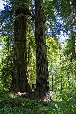 Hiker amongst giant redwood trees on the Trillium Trail, Redwood National and State Parks, UNESCO World Heritage Site, California, United States of America, North America