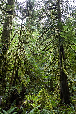 Lichen-covered trees on the Marymere Falls Trail, Quinault Rain Forest, Olympic National Park, UNESCO World Heritage Site, Washington State, United States of America, North America