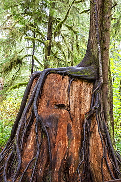 Nursery log on the Rain Forest Nature Trail, Quinault Rain Forest, Olympic National Park, UNESCO World Heritage Site, Washington State, United States of America, North America