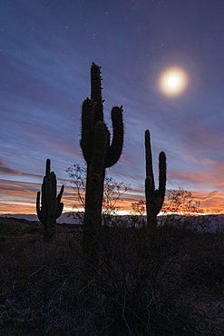 Moonlight on Argentine saguaro cactus (Echinopsis terscheckii), Los Cardones National Park, Salta Province, Argentina, South America
