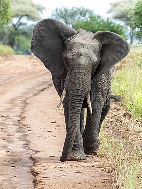 African bush elephant (Loxodonta africana), Tarangire National Park, Tanzania, East Africa, Africa
