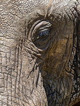 African bush elephant (Loxodonta africana), face detail, Tarangire National Park, Tanzania, East Africa, Africa