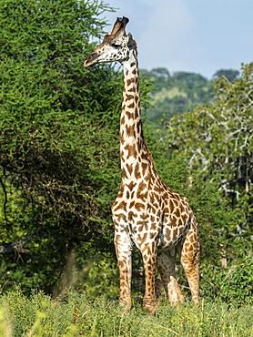 Adult male Masai giraffe (Giraffa camelopardalis tippelskirchii), Tarangire National Park, Tanzania, East Africa, Africa