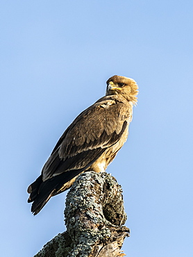 An adult tawny eagle (Aquila rapax), Serengeti National Park, Tanzania, East Africa, Africa