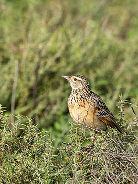 An adult red-winged lark (Mirafra hypermetra), Serengeti National Park, Tanzania, East Africa, Africa
