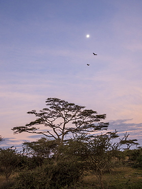 Sunrise over acacia trees with full moon in Serengeti National Park, UNESCO World Heritage Site, Tanzania, East Africa, Africa