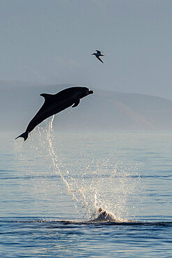 Adult bottlenose dolphin (Tursiops truncatus), leaping to the sky, Isla San Pedro Martir, Baja California, Mexico, North America