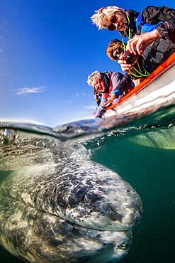 California gray whale, Eschrichtius robustus, with whale watchers, San Ignacio Lagoon, Baja California Sur, Mexico.