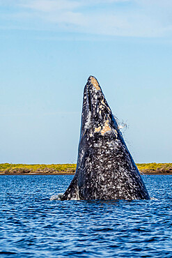 Adult California gray whale, Eschrichtius robustus, breaching in San Ignacio Lagoon, Baja California Sur, Mexico.