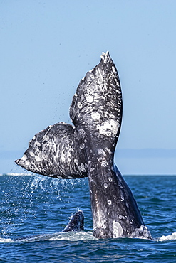 California gray whales (Eschrichtius robustus), courtship behaviour, San Ignacio Lagoon, Baja California Sur, Mexico, North America