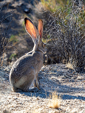 Black-tailed jackrabbit, Lepus californicus, Joshua Tree National Park, Mojave Desert, California, USA.