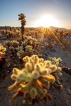Teddy bear cholla, Cylindropuntia bigelovii, at sunrise in Joshua Tree National Park, Mojave Desert, California, USA.