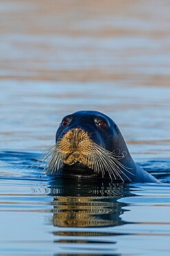 Curious adult bearded seal, Erignathus barbatus, swimming in Makinson Inlet, Ellesmere Island, Nunavut, Canada