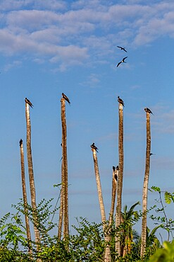 Magnificent frigatebirds (Fregata magnificens), perched on palm trees, Isla Iguana Wildlife Refuge, Panama, Central America