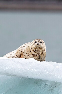 Adult harbor seal (Phoca vitulina), hauled out on ice in Glacier Bay National Park, Alaska, United States of America, North America