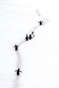 Adult gentoo penguins, Pygoscelis papua, walking on penguin highways, Neko Harbor, Antarctica.