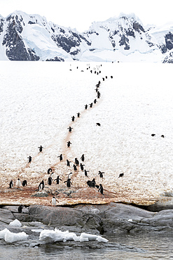 Adult gentoo penguins, Pygoscelis papua, walking on the penguin highway on Booth Island, Antarctica.