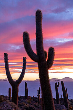 A forest of giant cardón cactus, Echinopsis atacamensis, at sunset on Isla Incahuasi, on the Salar de Uyuni, Bolivia.
