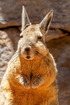 Southern viscacha, Lagidium viscacia, a rabbit-like rodent found in mountainous habitat, Salar de Uyuni, Bolivia.