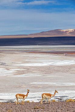 A pair of vicuñas, Lama vicugna, in the altiplano of the high Andes Mountains in Bolivia.