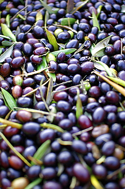 Olives, Umbria, Italy