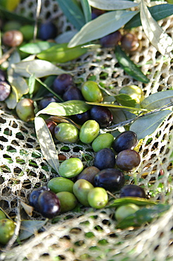 Olives on a net, Umbria, Italy