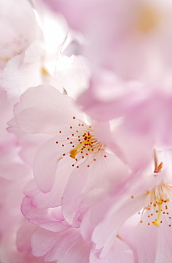 Flowering cherry, Prunus Accolade, Deutschland, Germany, Europe