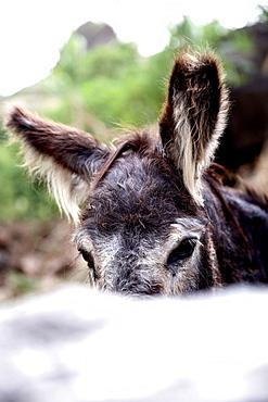 Donkey, Praia, Santiago, Cape Verde