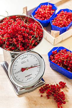 Weighing redcurrants, making jam, Hamburg, Germany