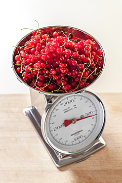 Weighing of redcurrants, making jam, Hamburg, Germany
