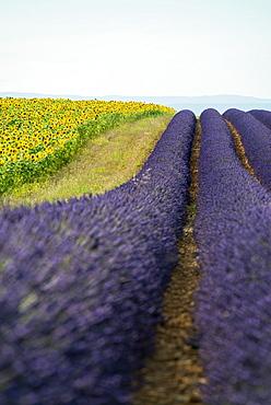 lavender field and sunflowers, near Valensole, Plateau de Valensole, Alpes-de-Haute-Provence department, Provence, France