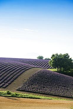 lavender field, near Valensole, Plateau de Valensole, Alpes-de-Haute-Provence department, Provence, France