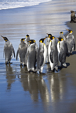 King Penguins on the beach, Aptenodytes patagonicus, St. Andrews Bay, South Georgia, Antarctica