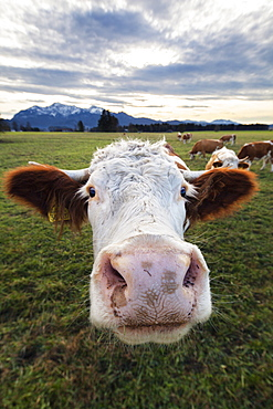 cow, cattle, Upper Bavaria, Alps, Germany, Europe